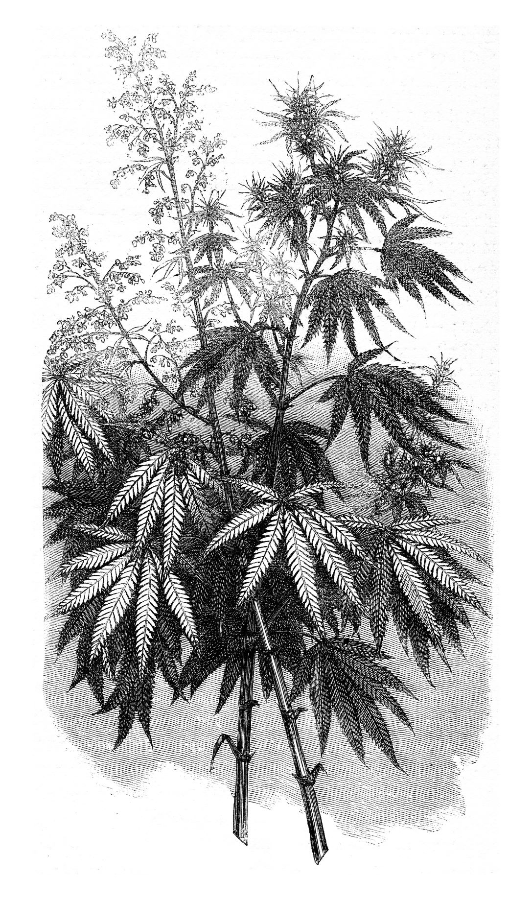 Black and white illustration of a cannabis plant
